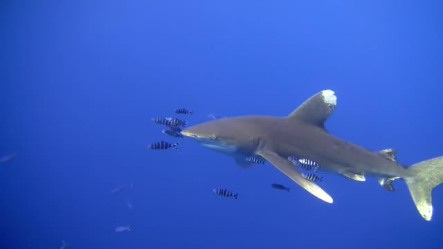 HD: Nahaufnahme Schuss von einem Shark