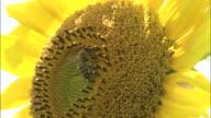Close up shot of a sunflower