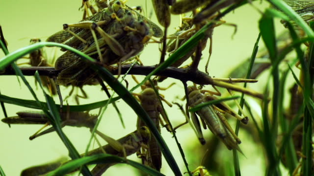 close up shot of locusts eating crops nature disaster