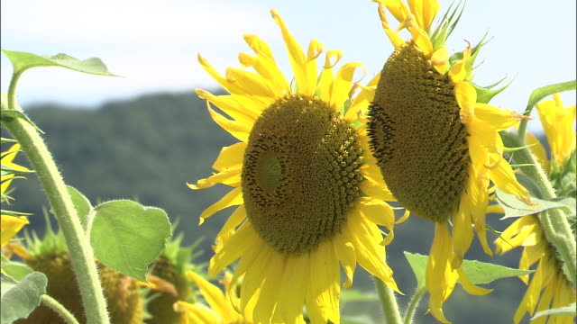 Close up shot of two sunflowers