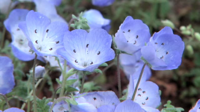 Close up shot of vividly blue nemophila flowers shaking in the wind in Hitachinaka Kaihin Koen water drops on small petals