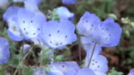 Close up shot of vividly blue nemophila flowers shaking in the wind in Hitachinaka Kaihin Koen water drops on small petals