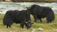 Close Up Shot Yaks Grazing Near River Lhasa Tibet China