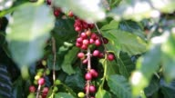 Close up shots of coffee beans hanging from the stems of coffee plants in Veracruz Huatusco Mexico Shots rak focus through Coffee leaves revealing...