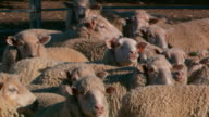 close up shots of Merino sheep crowded into their pen seeing tagged ears / wide shot sheep pen rolling hills and grazing Angus cattle in the...
