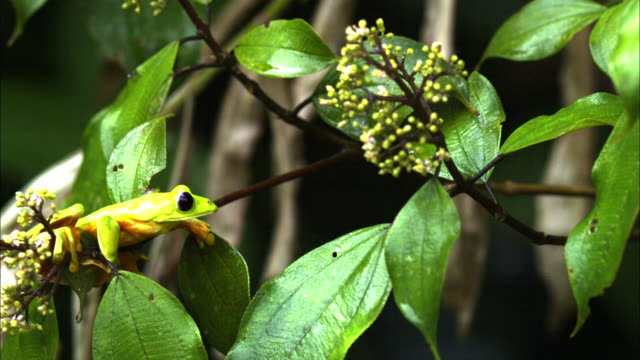 Close up, side angle, slow motion; Gliding tree frog gripping tree branch