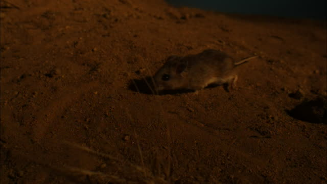 Close up, side angle, slow motion; mouse walking on sand