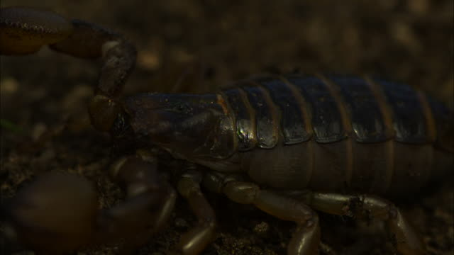 Close Up Slow Motion -  Scorpion crawls out of the frame / California USA