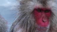 Close up SNOW MONKEY face