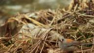 Close up, songbird near river in Colorado