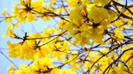 close up Tabebuia chrysotricha yellow or Golden Trumpet flowers blossom