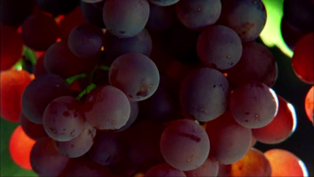 Close up tilt down large bunches of red grapes hanging on vine at Long Vineyards/ Napa Valley, California