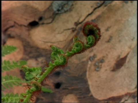 Close up time lapse fern growing outdoors
