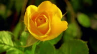 close up time lapse yellow rose blooming