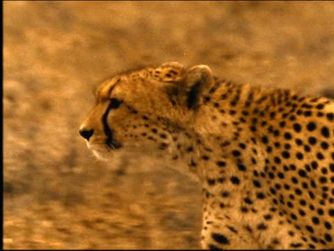 SEPIA close up tracking shot cheetah walking in grass / looks at camera / Africa