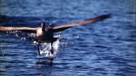 Close up tracking shot goose running on surface of water and flying w/other geese