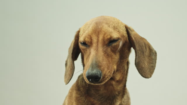 Close up video portrait of cute little dachshund dog