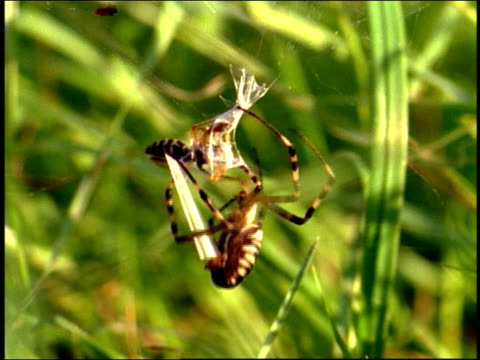 Close up wasp spider capturing prey within web