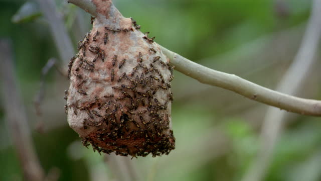 Close up wasps crawling over outside of nest hanging from tree / Venezuela