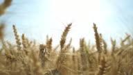 close up wheat field in wind