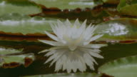 close up white fragrant water lily + reflection / Caddo Lake, Texas