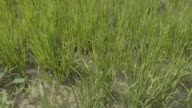 Close up young rice plants grow in a paddy field to produce grain for Wanbao Grains Oils Co a Chinese company in the Limpopo Valley near Xai Xai...