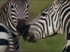 1971 close up zebra baring teeth and gums / appearing to talk to another zebra / Tanzania