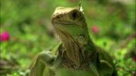 Close up zoom out iguana / San Juan, Puerto Rico