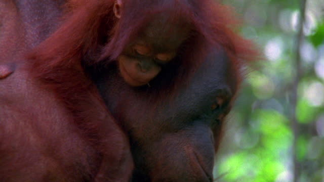 Close up zoom out mother orangutan hanging with baby in tree / Indonesia
