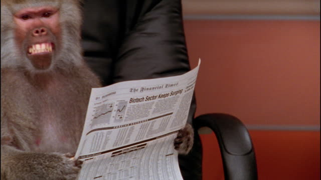 Close up zoom out to medium shot baboon holding financial section of newspaper / sitting in office chair / zoom in making face