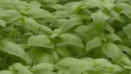 Close ups of basil growing inside of the Gotham Greens facility in Brooklyn NY on July 27 2017 Shots CU of stationary basil wider pan right over...
