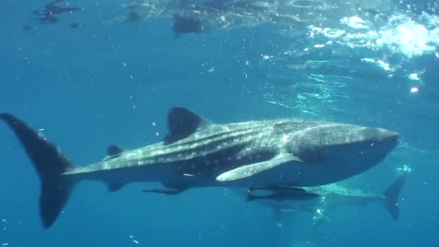 Close view of a whale shark swimming at the camera, West Papua, Indonesia.