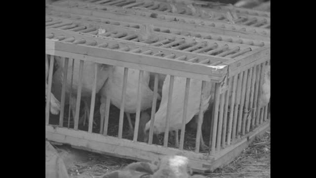 Close view of chickens in wood cages on board ship 'Effie M Morrissey' / man on board ship hauling in rope / woman on board ship as it gets under way...