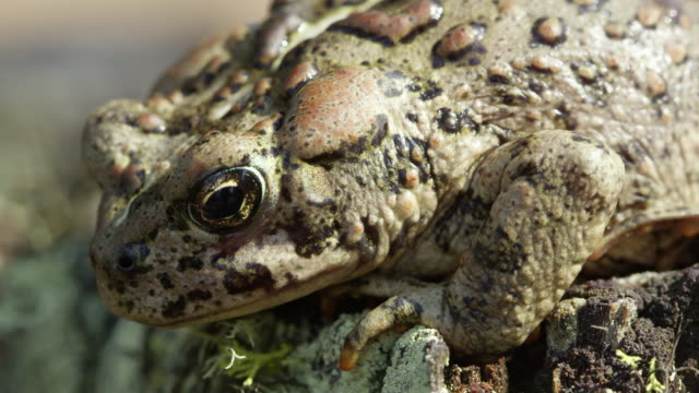 Close view of Western Toad on stump with lichens
