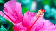 Gesloten-up rode Hibicus bloem