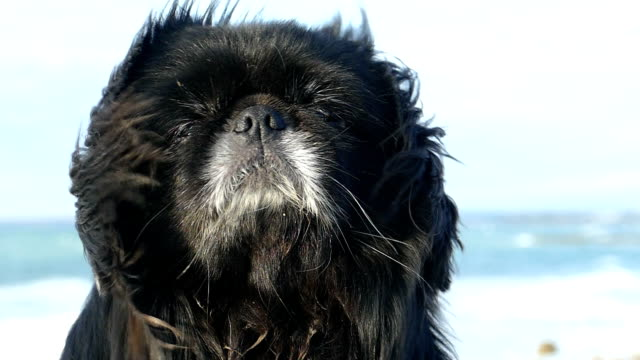 Close-up - a brutal dog with long hair on the coast (slow motion)