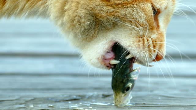 Nahaufnahme - eine Katze frisst Fisch gefangen