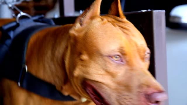 Nahaufnahme amerikanische Grube Stier Terrier