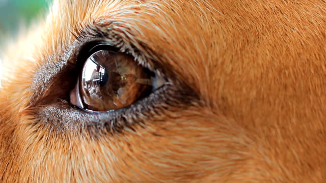 Close-up beagle eye