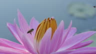 Close-up Bee on Pink Water Lily in morning. (Slow motion)