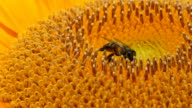 HD: Closeup Been looking for nectar in a sunflower.