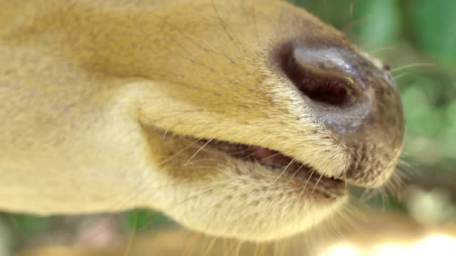 Close-up Brow-antlered deer is chewing the food