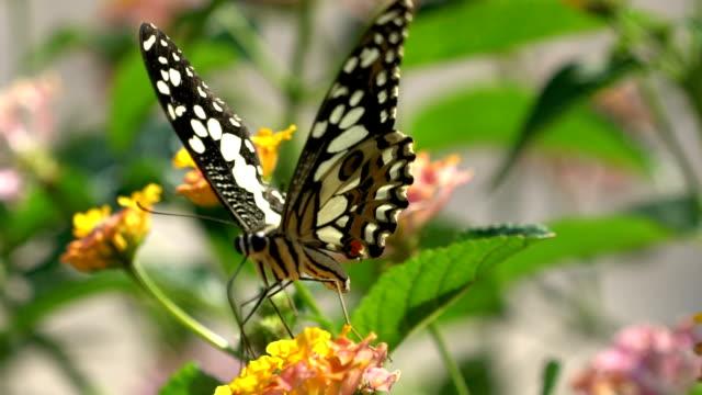 Closeup Schmetterling auf Blume, Slow-Motion.