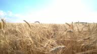 closeup crane move in dry wheat field in 4k