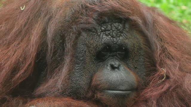 Closeup face Orangutan