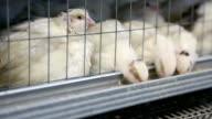 close-up  - farm for the breeding of quails