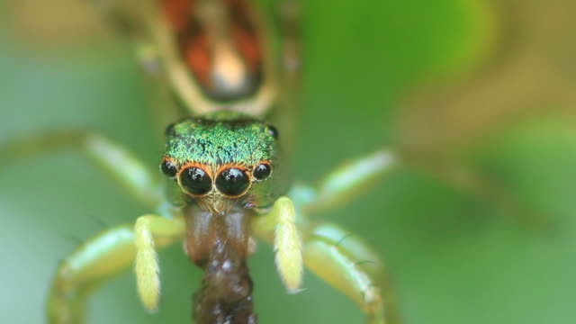 Close-up Jumping spider