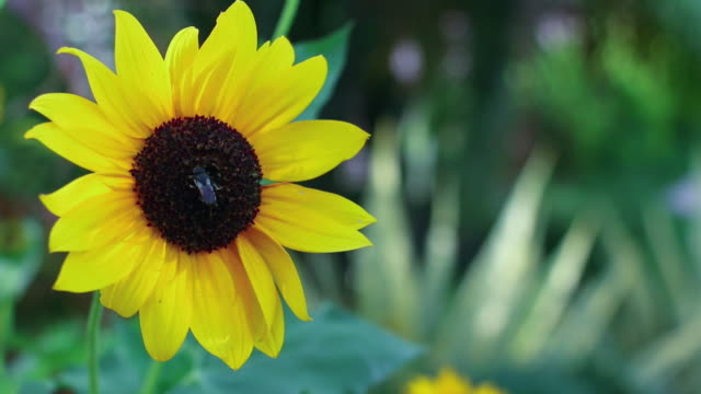 Close-up of a bee pollinating a sunflower