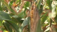 Close-up of a corn in a corn field in South Dakota United States