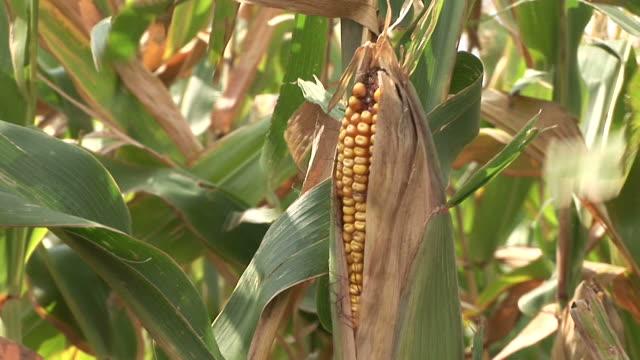 Close-up of a corn in a corn field in South Dakota United States